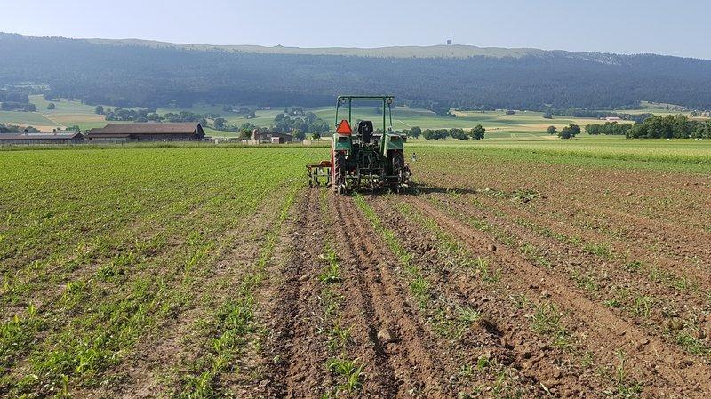 Quelque 715 hectares de maïs sont cultivés dans le canton. Sécheresse et désherbage constituent les principaux écueils.