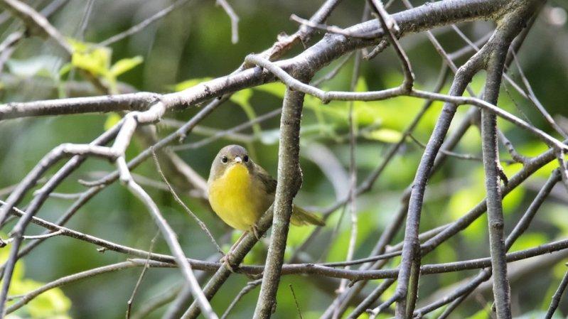 Les oiseaux des campagnes, comme la Paruline du Canada, sont les plus touchés.