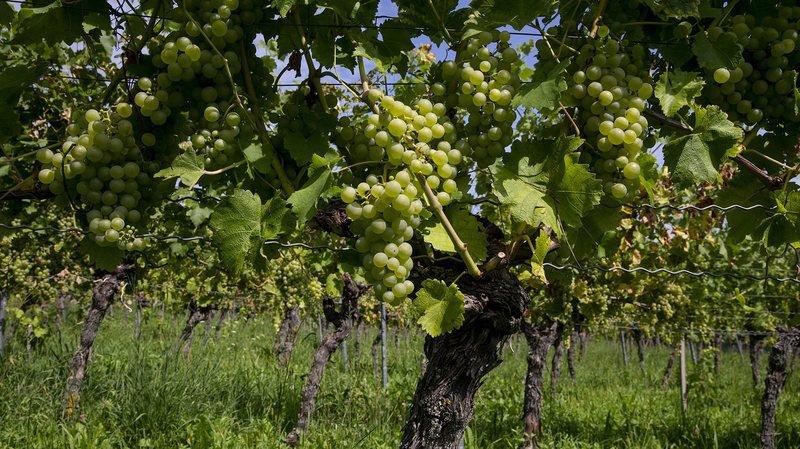 Une vigne en pleine santé, à Boudry.