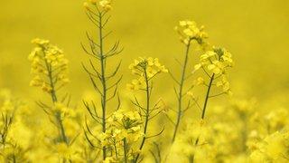 Colza bio et conventionnel: deux agriculteurs défendent leur choix