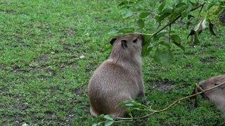 Naissance de capybaras au Zoo de Zurich