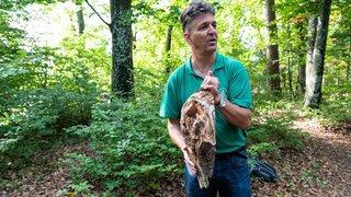 Neuchâtel: dans la forêt de Chaumont, hêtres et sapins blancs supportent mal la sécheresse