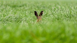 Jura: inquiétudes sur le sort des lièvres bruns
