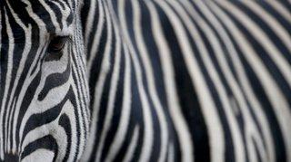 Naissance rarissime au Kenya: un zèbre tacheté et sans rayure vient de naître dans le parc du Masai-Mara