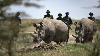 Kenya: la science pourrait sauver le rhinocéros blanc du Nord de l'extinction