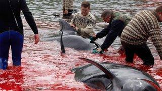 Dauphins tués par tradition