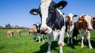 Sainte-Croix: une promeneuse piétinée par un troupeau de vaches