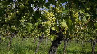 Le raisin mûrit bien sur le Littoral neuchâtelois, mais gare aux maladies!