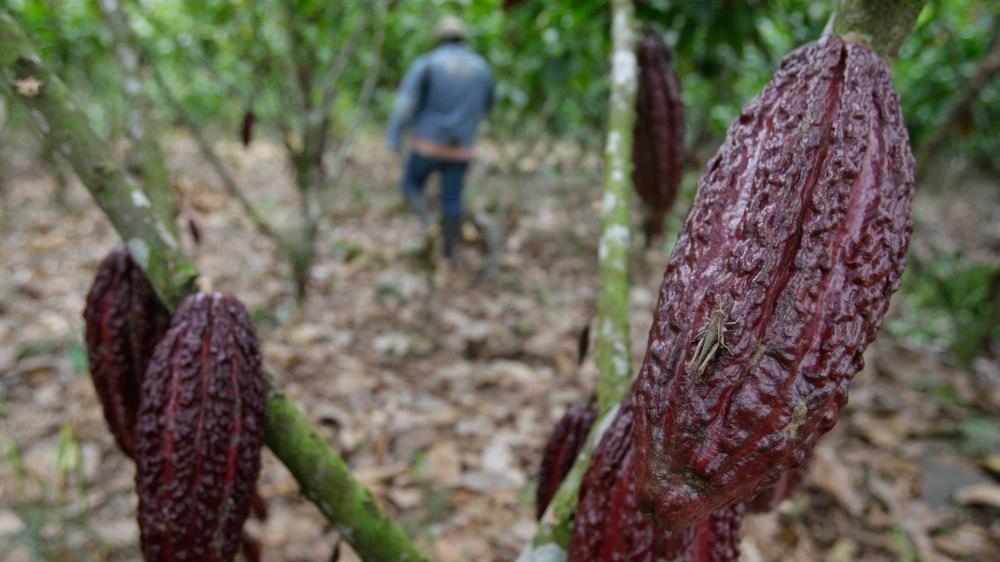 La filière du cacao est menacée par le réchauffement climatique.