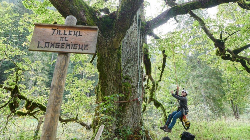 Emilien Jacoulot s'apprête à monter dans les branches du tilleul de Longeaigue.