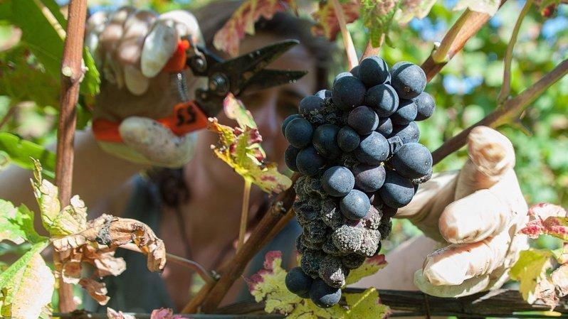 Sélection des vins neuchâtelois: le Domaine Grisoni remporte le prix «Ambassadeur»