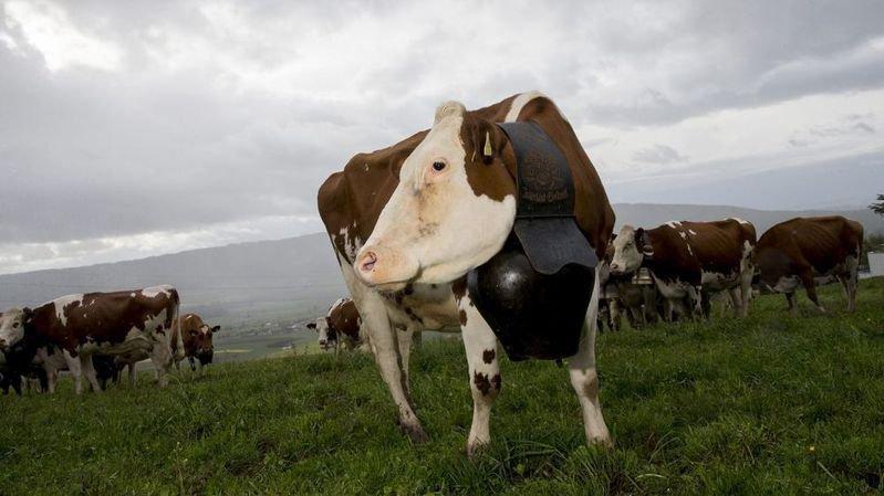 """""""Le problème n'est pas vraiment du ressort des paysans mais de la pollution que produisent les vaches"""", estime l'universitaire Alain Naef."""