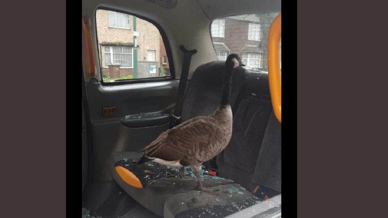 Angleterre: une oie explose la vitre d'un taxi et s'installe sur la banquette arrière