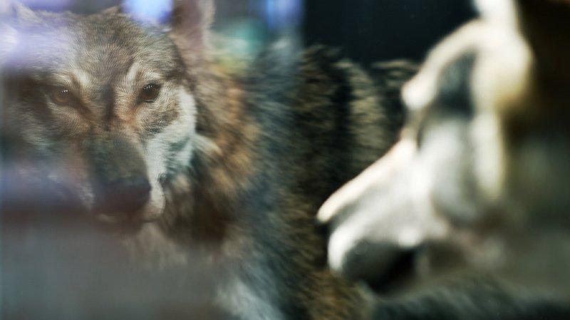 Les analyses ont montré qu'un seul loup était à l'origine de ces attaques (illustration).