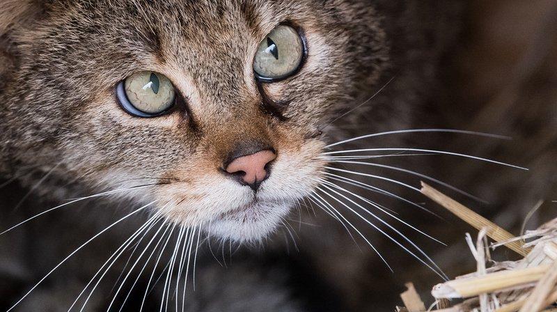 Emotion autour d'une chatte euthanasiée à Tavannes
