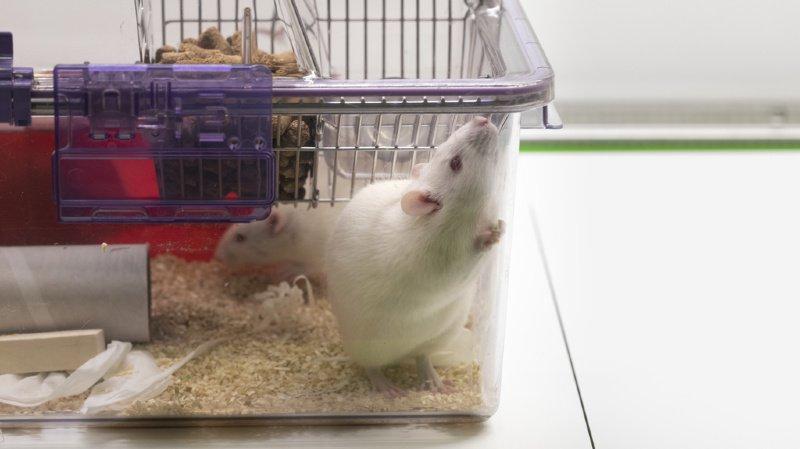 La contrainte subie par les animaux ne serait que rarement en adéquation avec le gain réel de savoir. (illustration)