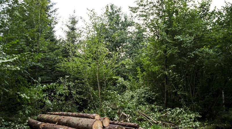 En Suisse, seules deux espèces d'arbres ont été classée en danger, selon la dernière mise à jour de la liste rouge. (Illustration)
