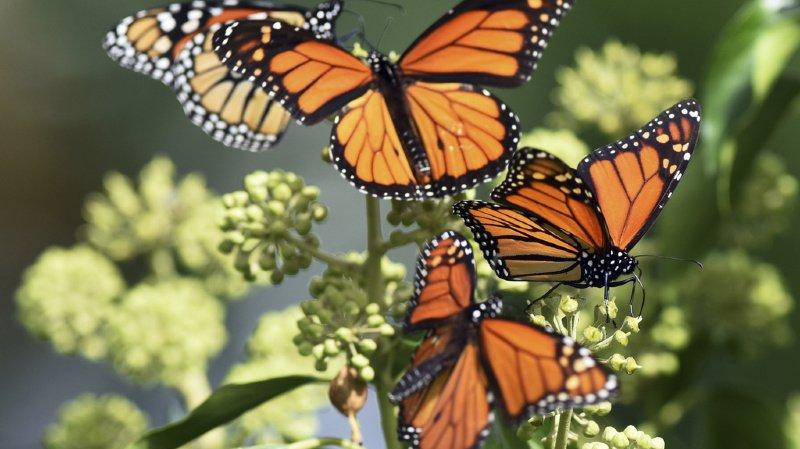 Les analyses ont révélé que les lépidoptères, soit le nom scientifique donné aux papillons, se sont diversifiés en même temps que les plantes à fleurs. (illustration)