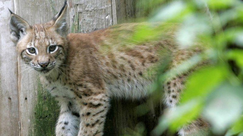 Elle pensait recueillir un chaton, c'était en réalité un lynx