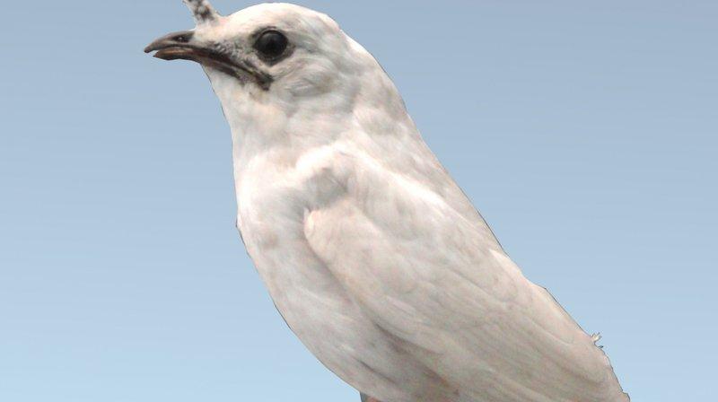L'araponga blanc peut atteindre jusqu'à 113 décibels lorsqu'il crie.