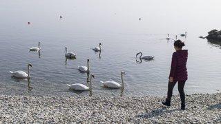 Les cygnes ont déserté la rive nord du lac de Neuchâtel