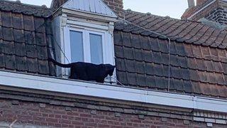 France: la panthère noire des toits d'Armentières, près de Lille, a été volée dans un zoo