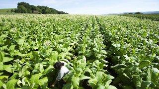 Tabac: les cultures reculent de plus en plus en Suisse, près de 300 hectares en moins en 16 ans