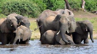 La sécheresse tue  les éléphants
