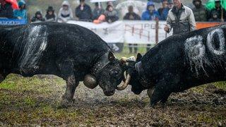 Rochefort, cadre pluvieux d'un combat royal entre bêtes à cornes