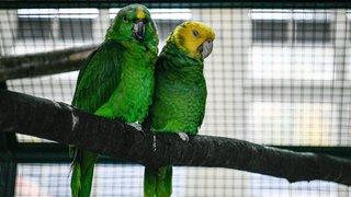 Des magnifiques plumages exposés à Boudry