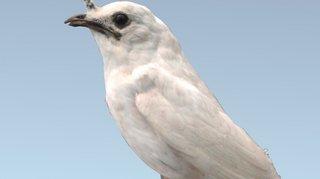 Ornithologie: l'oiseau le plus bruyant du monde crie pour trouver l'amour