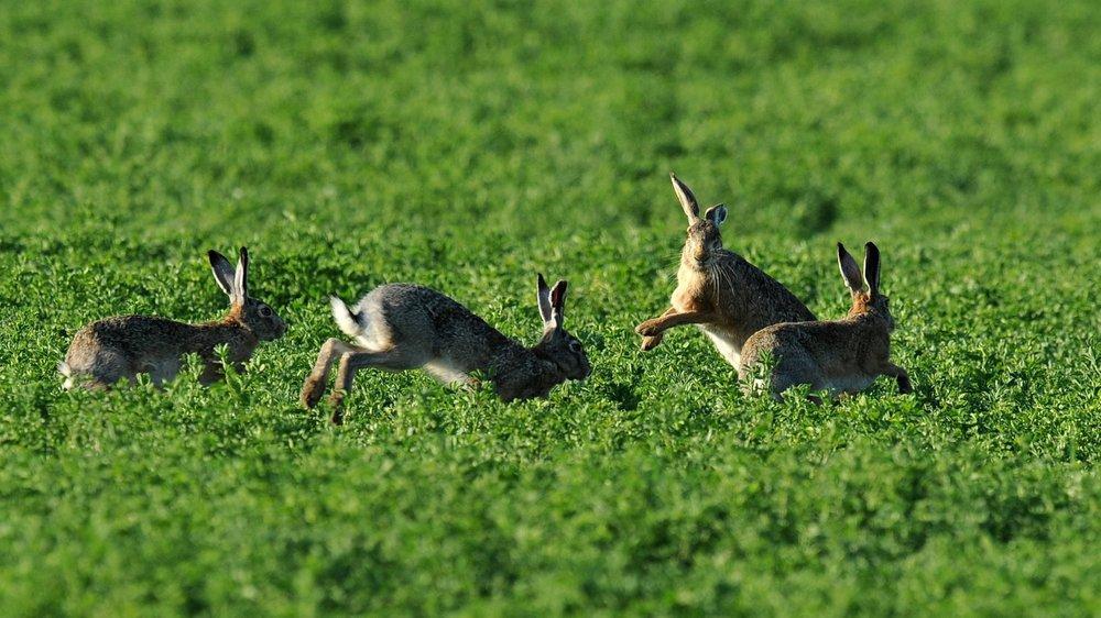 Les lièvres neuchâtelois pourront-ils bientôt continuer à dormir sur leurs deux oreilles à l'ouverture de la chasse?