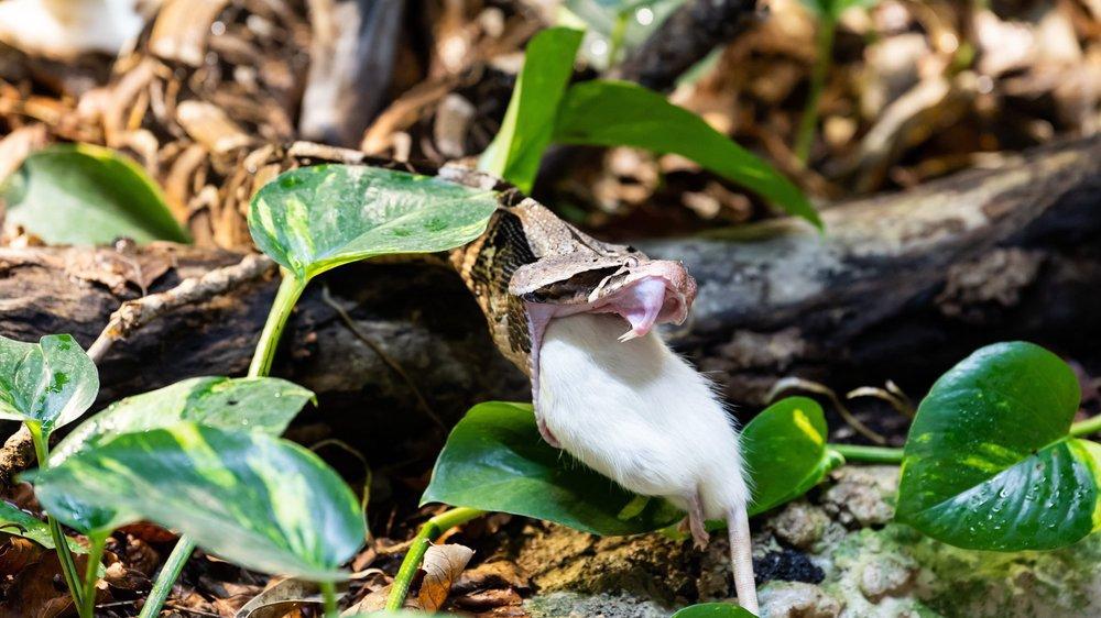 Un rat mort pour la vipère du Gabon.