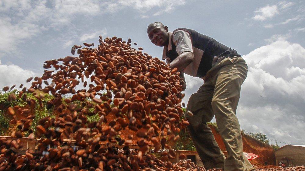 Le prix du cacao, ici des fèves dans une exploitation en Côte-d'Ivoire, reste un épineux problème.