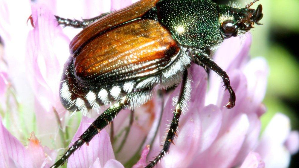 D'invasifs scarabées japonais au Tessin