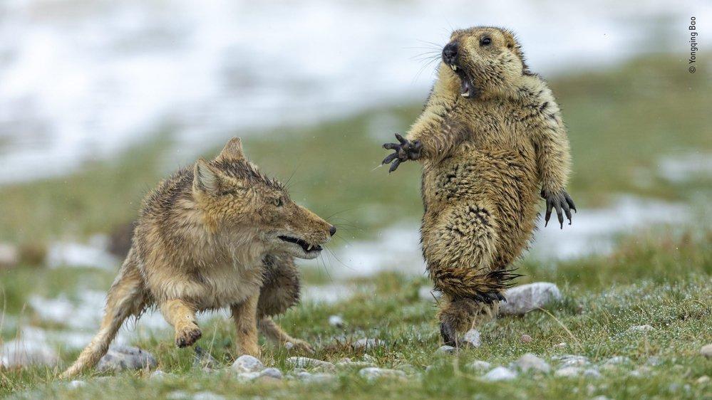 Une marmotte de l'Himalaya venant de sortir de son hibernation se retrouve face à une renarde tibétaine et ses trois petits affamés. Cette image est la grande gagnante du concours.