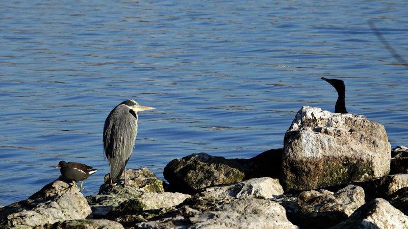 Vaud autorise la chasse au cormoran sur le lac de Neuchâtel