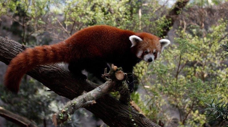 Un panda roux fugue d'un zoo de la Loire à la faveur de la neige