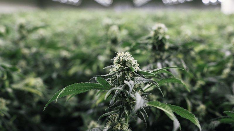 Le cannabis est autorisé à usage thérapeutique dans une trentaine de pays dans le monde. (illustration).