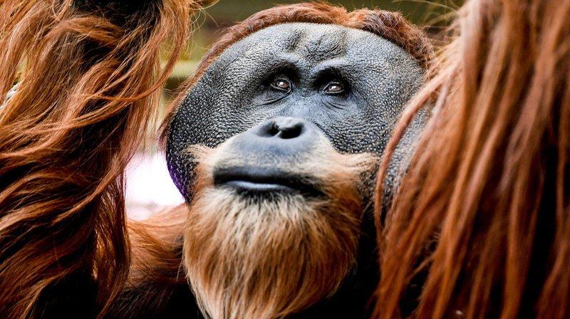 Un chercheur de l'Université de Neuchâtel reconnu pour ses recherches sur les grands singes