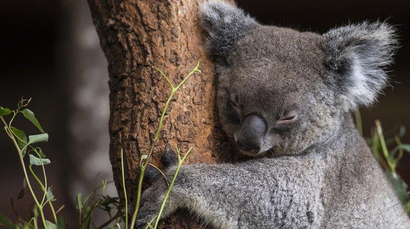Australie: des centaines dekoalaspourraient avoir péri dans un incendie