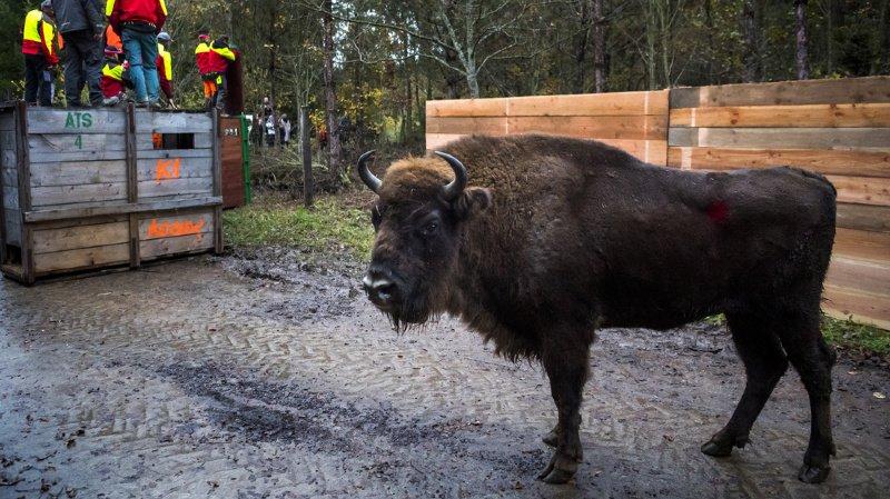 Ces bisons ont été sélectionnés par l'European Bison Survival Group (EBSG), basé à Varsovie (Pologne), afin de former une cellule de conservation génétique.