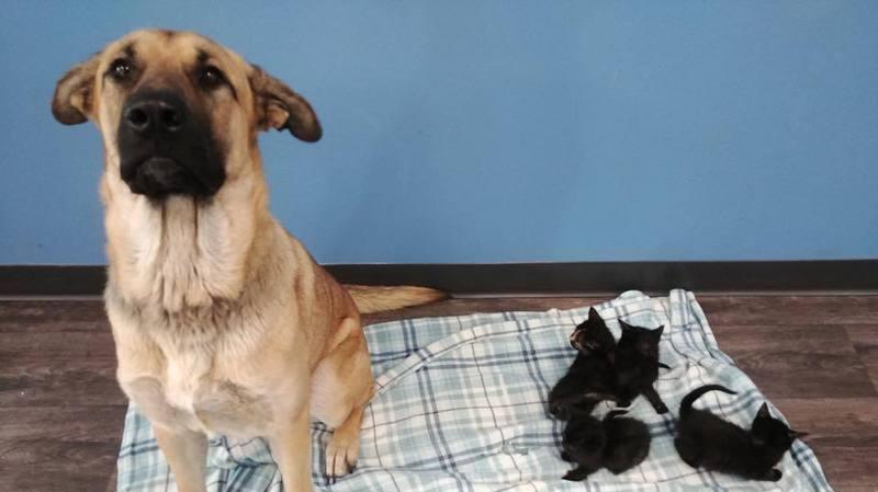 Canada: une chienne errante sauve du froid cinq chatons abandonnés