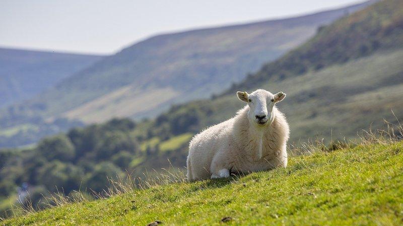 Un mouton allongé sur le dos pendant trop longtemps risque de s'asphyxier. (Illustration)
