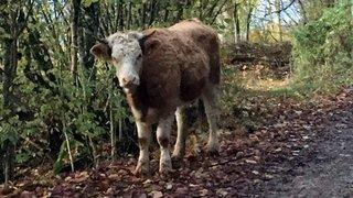 Isaline, la vache qui voulait vivre dans la forêt de Fenin