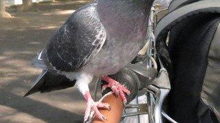 Si les pigeons perdent des doigts ou des pattes, c'est peut-être à cause de vos cheveux