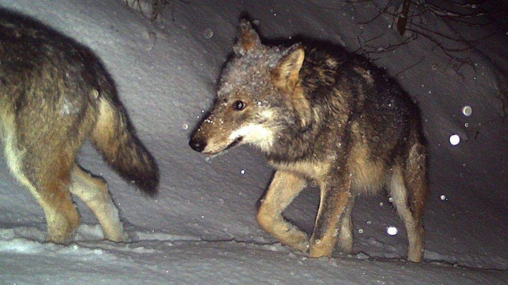 Certains loups pourraient être issus de la meute du Calanda.
