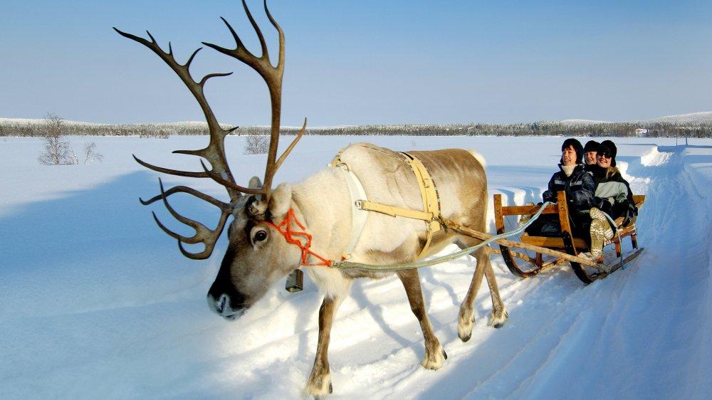 Renne. Sauvage ou domestiqué l'icône absolue de la Laponie finlandaise.