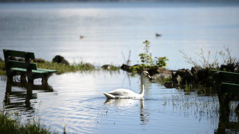 Serrières: un cygne se perd sur l'autoroute A5