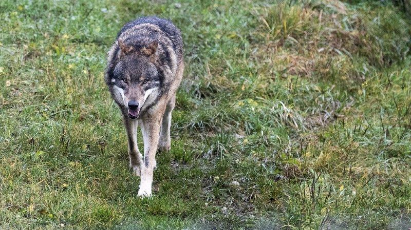 Grisons: un loup a été tué par une voiture à Tamins